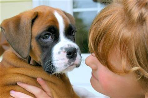 buy boxer puppy miniature boxer puppies lovetoknow