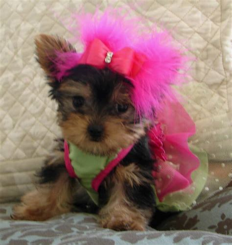 yorkie baby pictures cutest yorkie puppy images of puppies litle pups