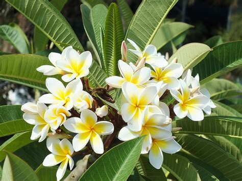 Bunga Plumeria Frangipani Pink Marine free photo plumeria flower tropical plant free image