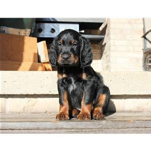 gordon setter gun dogs for sale gordon setter ad 77828