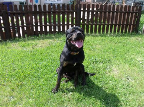 rottweiler needs rottweiler needs new home cannock staffordshire pets4homes