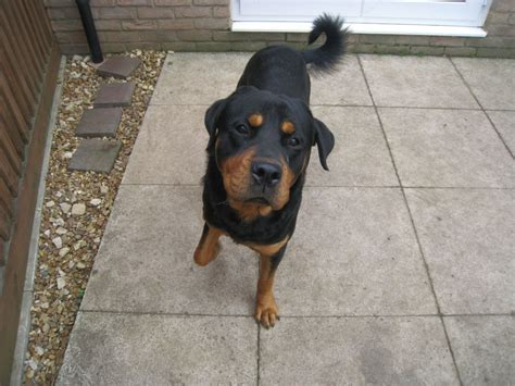 1 year rottweiler for sale 1 year rottweiler boy for sale ely cambridgeshire pets4homes