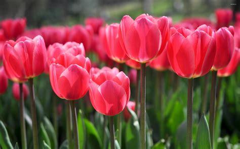 wallpaper pink tulip pink tulips 6 wallpaper flower wallpapers 40211