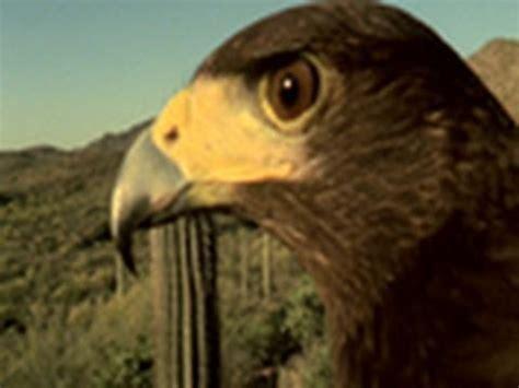 hawks that hunt in packs goodies random awesomeness i encounter 187 archive