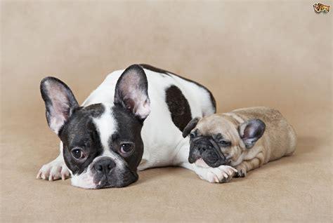 how many puppies do bulldogs vital needs of a bulldog checklist pooch portal