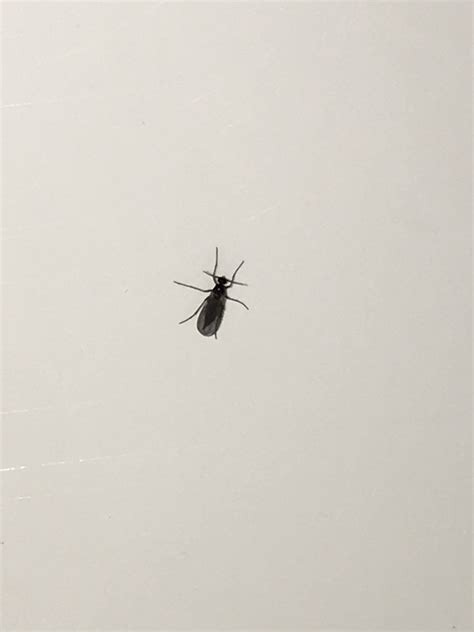 Small Black Insects At Home Small Flying Bugs Gathering On Bedroom Windows Updated