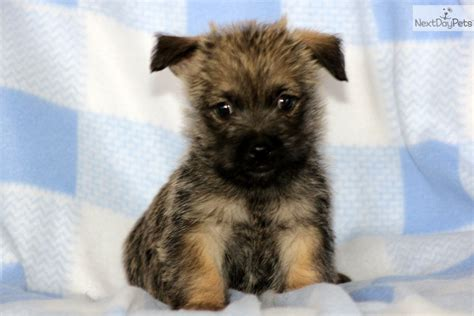 free cairn terrier puppies terrier puppies for sale in pa images