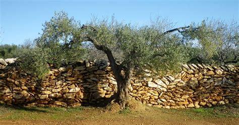 olivo in vaso olivo in vaso ulivo olivo coltivato in vaso