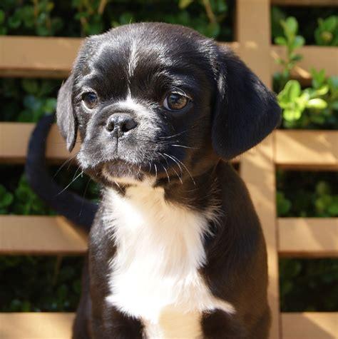 pug x maltese pug x maltese cottage canines australia