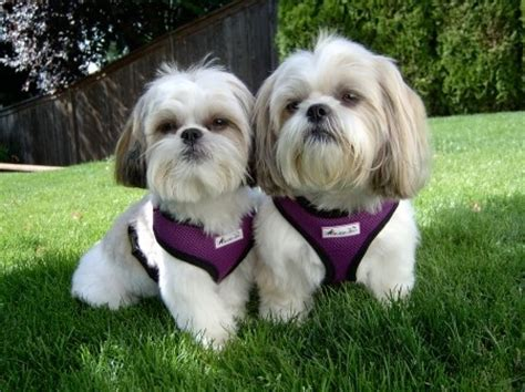 how to potty my shih tzu 595 best images about shih tzu pictures on maltese shih tzu shih tzus and