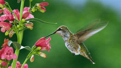 5 plants that attract hummingbirds grazeme