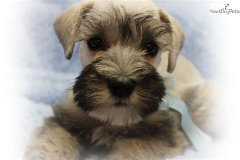 miniature schnauzer puppies for sale in missouri schnauzer miniature puppy for sale near st louis missouri 15255177 e801