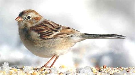 oklahoma winter bird atlas books field sparrow the bird atlas