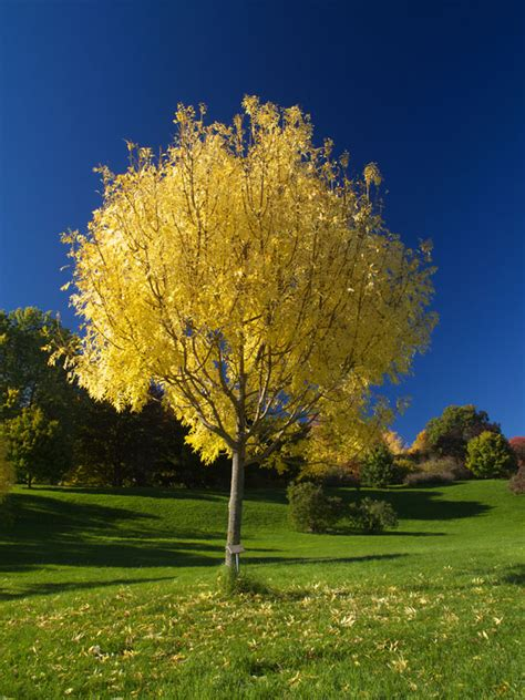 golden ash tree   plants garden supplies