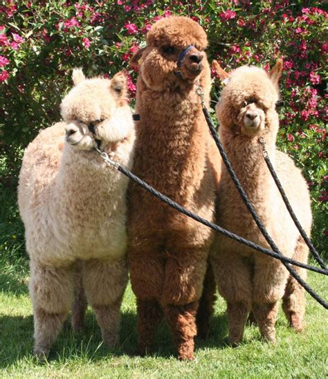alpacas  sale classical mileend breeders  quality alpaca  devon   south west uk