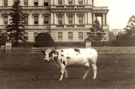 Which President Got Stuck In The White House Bathtub by President Taft S Cow Pauline Wayne Presidential Pet Museum