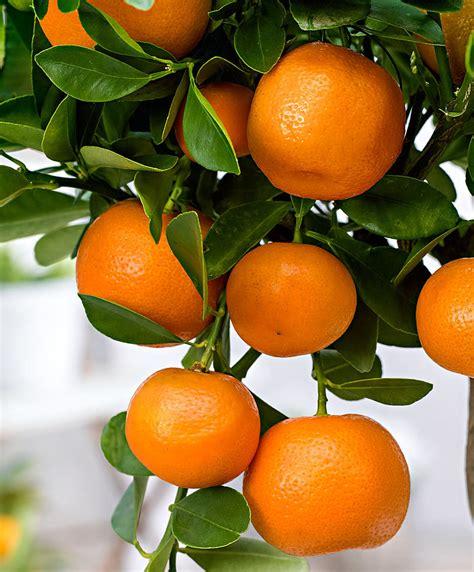 Lime Green Kitchen Ideas Buy A Container Plant Now Calamondin Calamondin Bakker Com