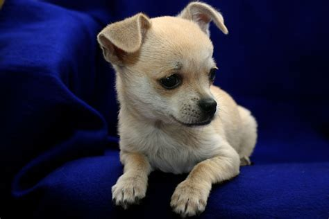 A Picture Of A Chihuahua Puppy