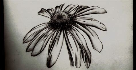 wilted daisy pencil sketch by tallis on deviantart