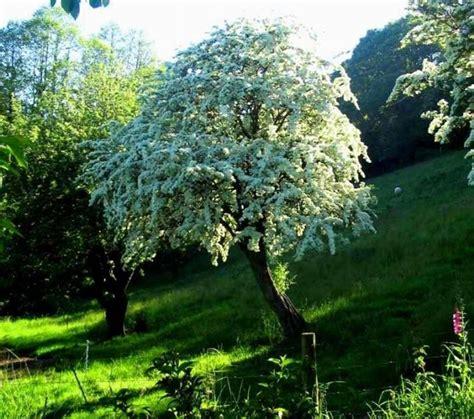biancospino fiori biancospino crataegus piante medicinali