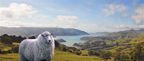 new year sheep wallpaper new zealand the trade partner for the eu