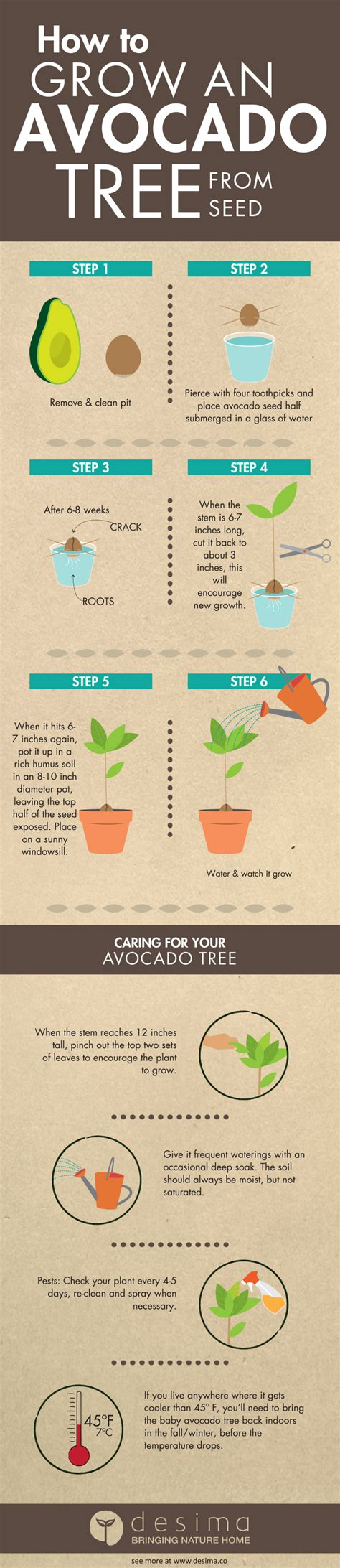 Herbs Indoors by Infographic On How To Grow An Avocado Tree From Seed