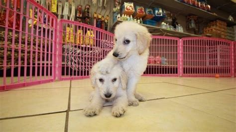 doodle puppies for sale in ga goldendoodle puppies for sale in atlanta at puppies