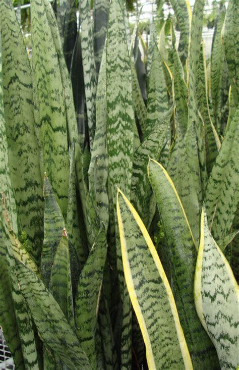what is a foliage plant sanseveria tropical foliage plants inc