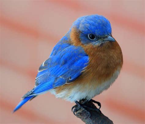 google images birds blue bird images google search fat birds pinterest