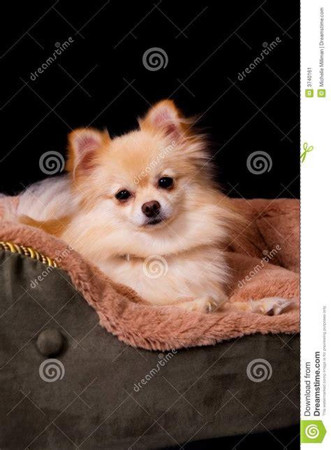 pomeranian bed pomeranian in bed stock image image 3740161