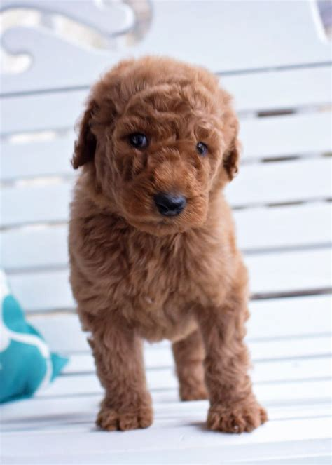 5 week puppy care 39 best standard poodle puppies from sugar n spice standards images on