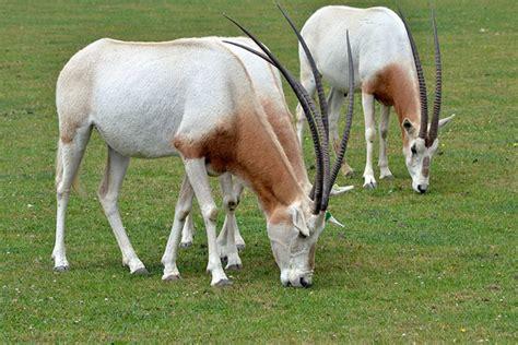 percent  big animals   sahara desert  extinct  endangered focusing  wildlife