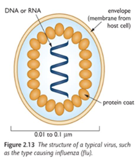 diagram of a typical virus gcse notes september 2013
