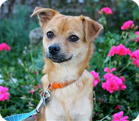 shiba yorkie mix shorthair chihuahua and yorkie mix breeds picture