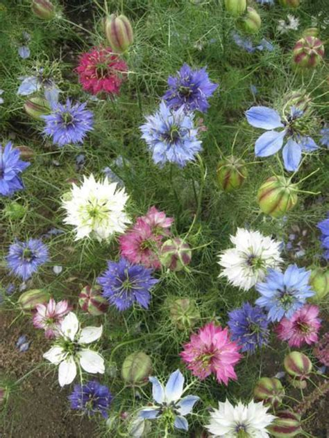 nigella damascena persian jewels flower garden