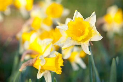 fiore giallo primaverile fiori gialli narciso nella stagione primaverile