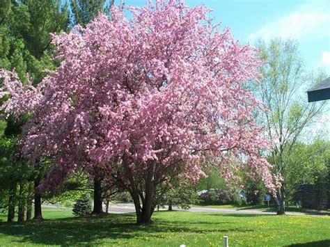 gardening landscaping flowering thundercloud plum tree having beautiful garden with