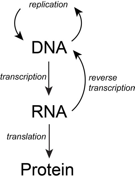 flowchart of dna replication w2017 lecture 20 reading biology libretexts