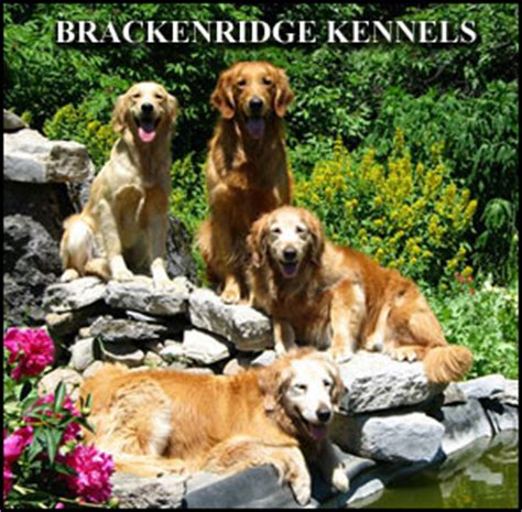 golden retriever breeders calgary golden retrievers for sale alberta breeds picture