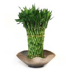 Flower Arrangements For Events - lucky bamboo arrangement spiraling dragon lucky bamboo