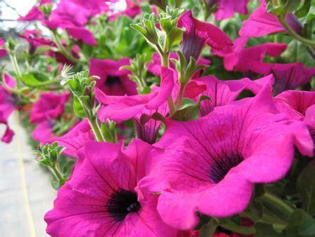 fiori da piantare in giardino fiori da piantare a febbraio le petunie pollicegreen