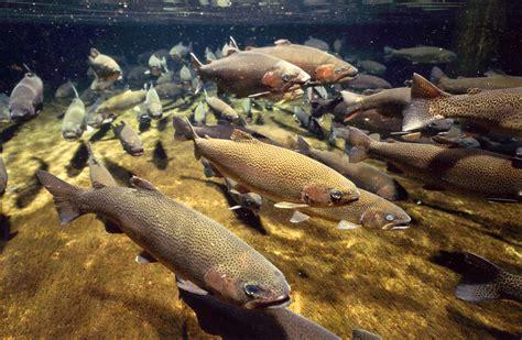 backyard fish farming trout fresh water fishes of sri lanka amazinglanka com