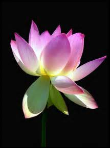 What Does A Lotus Flower Lotus Flower Meaning Pictures Blue White Lotus Flowers