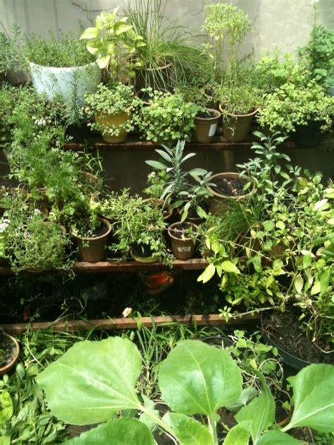 Jual Bibit Oregano jual benih tanaman herbs cara menanam bibit herbs