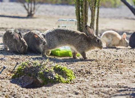 Im In Vegas With Bunnys Help 2 by Las Vegas Feral Bunnies Create Problems For Groups Trying