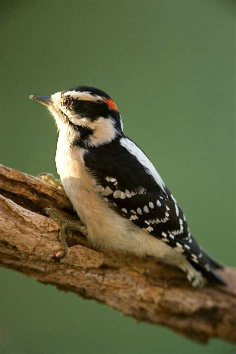 hairy woodpecker middle tennessee tweets pinterest