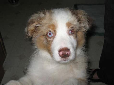 australian shepherd puppy cost mini australian shepherd puppy with uniquw jpg hi res 720p hd