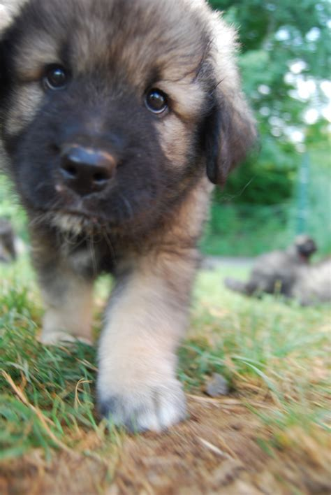 walking puppy walking karst shepherd puppy photo and wallpaper beautiful walking karst shepherd