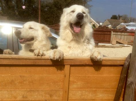 white shepherd puppies for sale chunky white german shepherd puppies for sale evesham worcestershire pets4homes