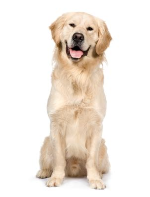 golden retriever facts and info golden retriever information facts pictures and grooming
